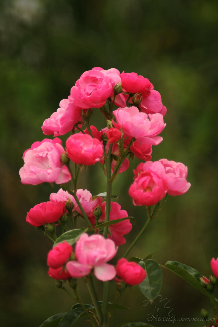 Tiny pink roses by Nexu4