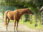 old chestnut gelding looking to a mare