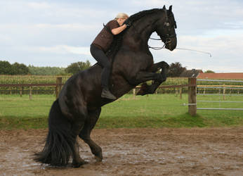 friesian janosch rearing with rider