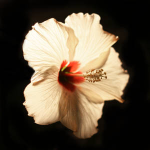 hibiscus flower in the dark by Nexu4