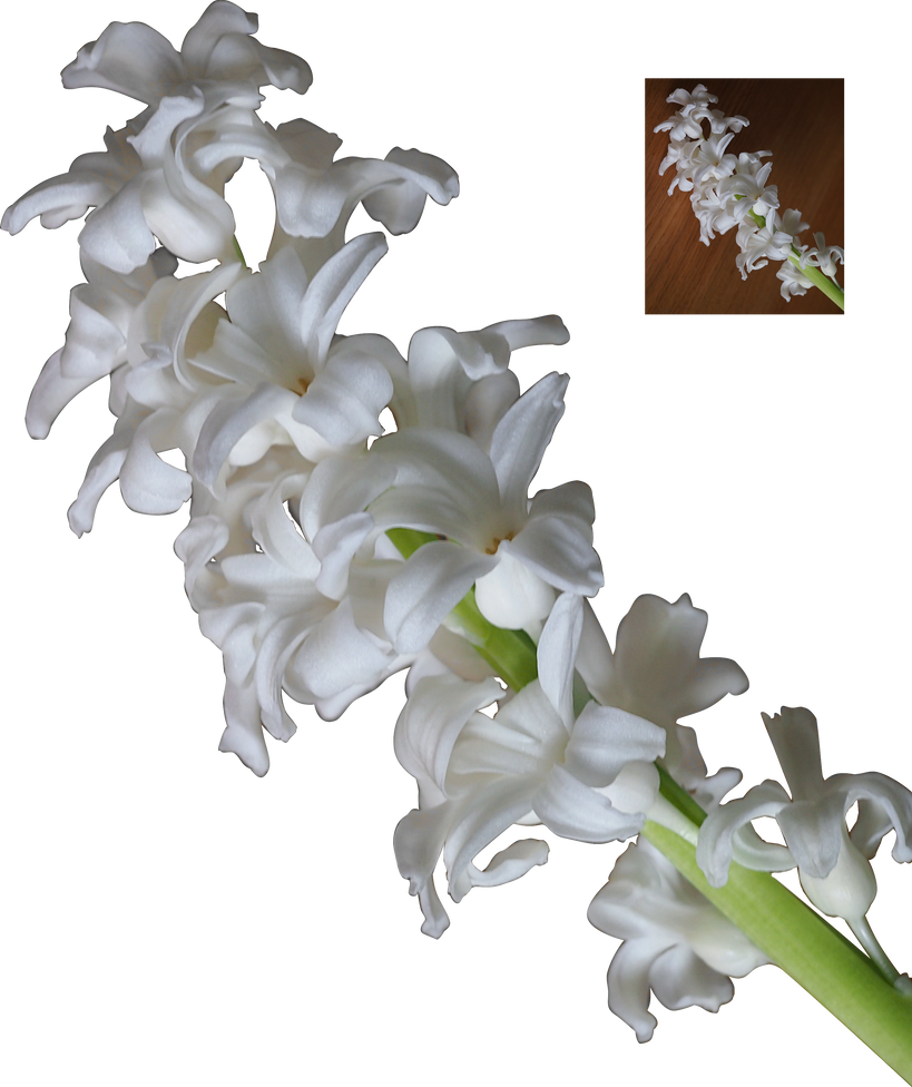 white hyacinth flower blossoms png by nexu4 on deviantart. Black Bedroom Furniture Sets. Home Design Ideas