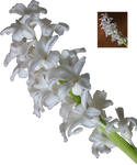 white hyacinth flower blossoms png