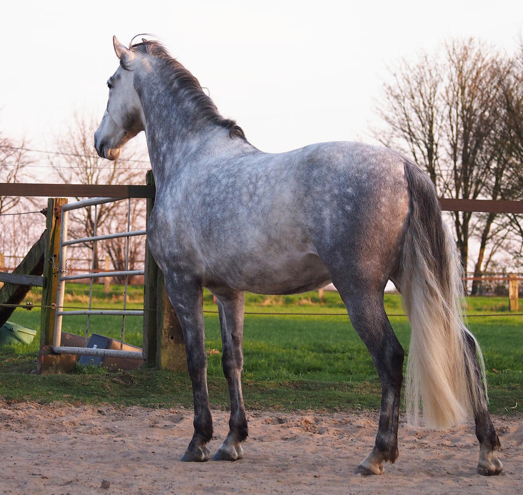 grey andalusian backside 1