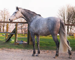 grey andalusian backside 2 by Nexu4