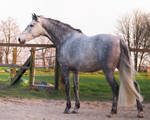 grey andalusian backside 2