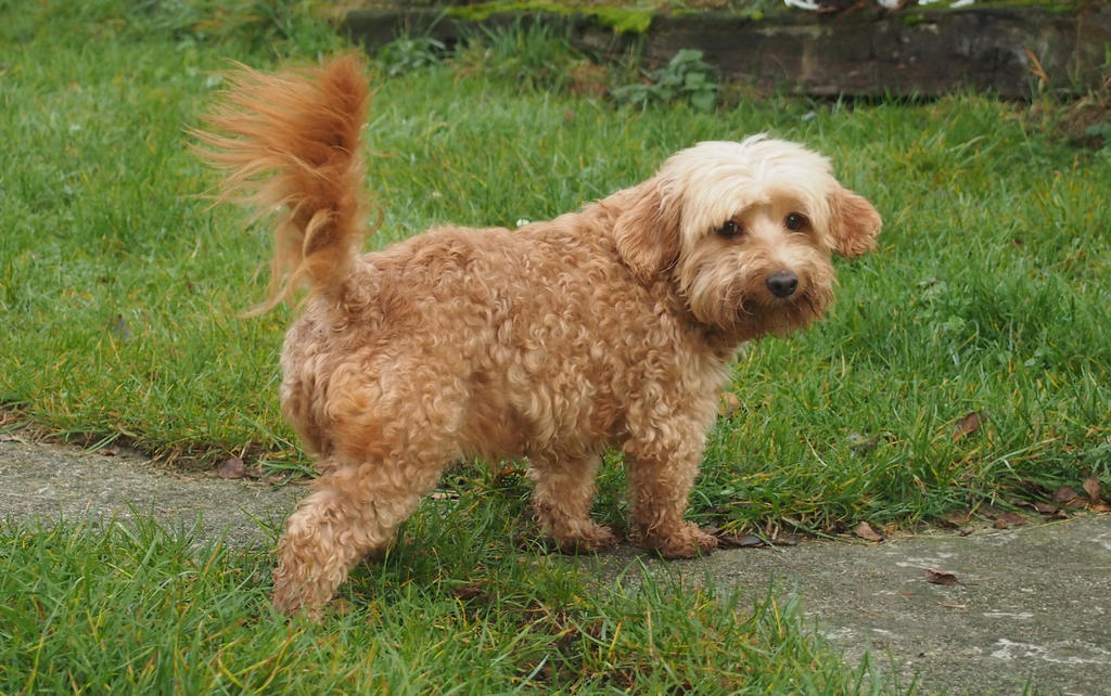little dog Paula looking back by Nexu4