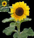 sunflower png precut