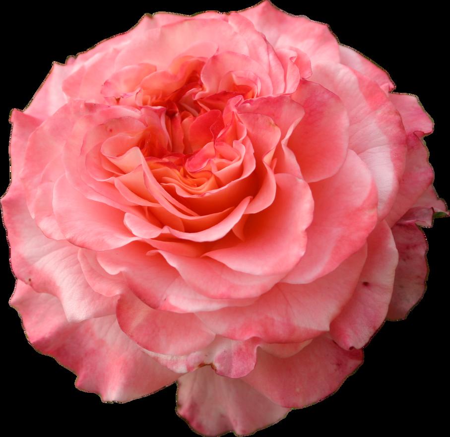 Spring Rose pink png precut flower by Nexu4 on DeviantArt