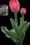 red tulips precut png by Nexu4