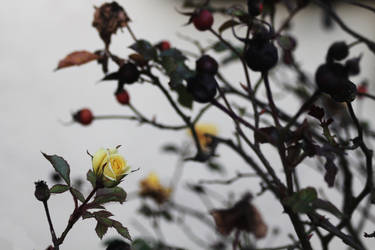 yellow rose and dark rose hips