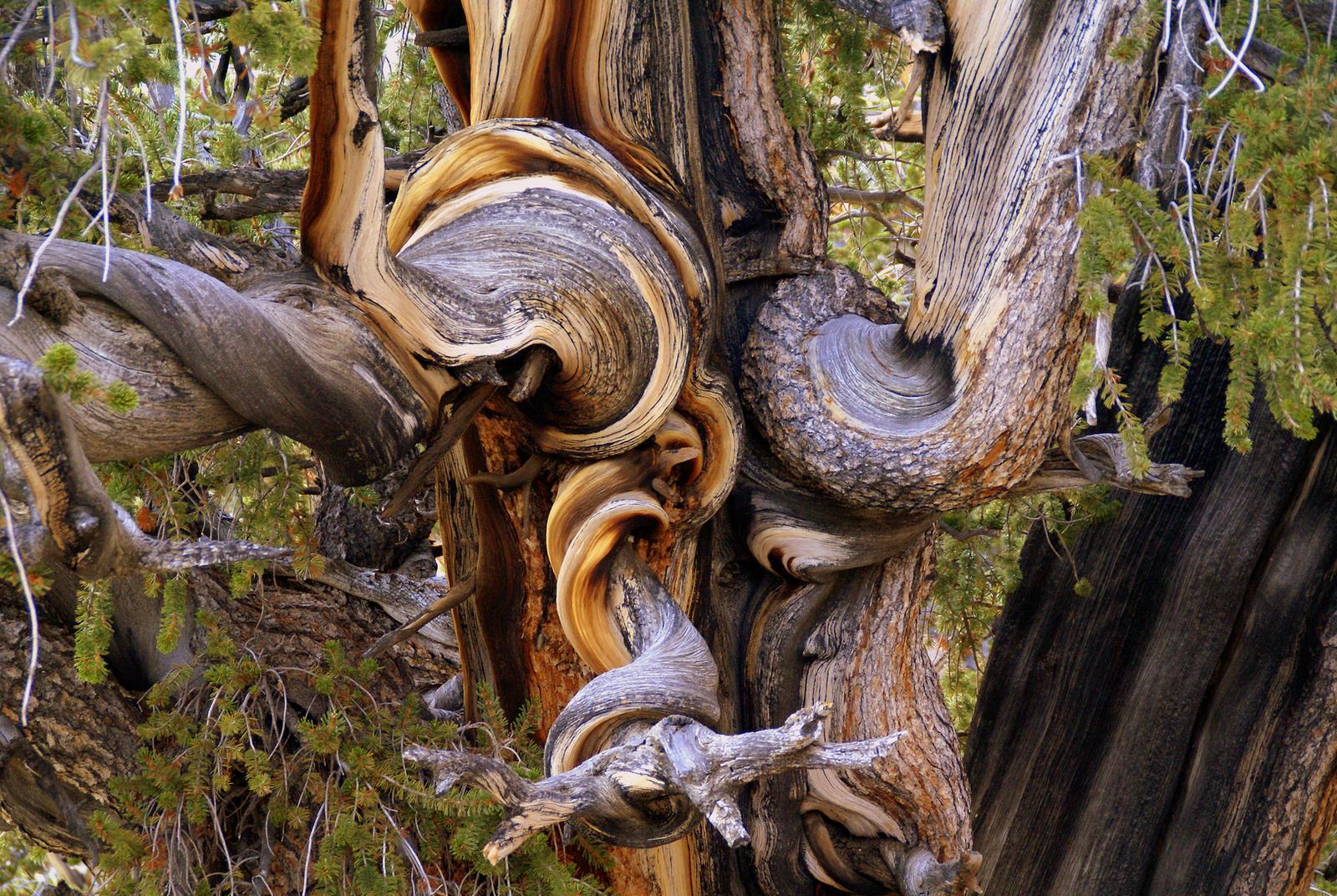 Bristlecone Pine Burl