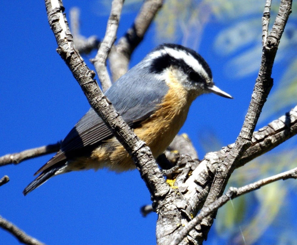 Nuthatch  Wikipedia
