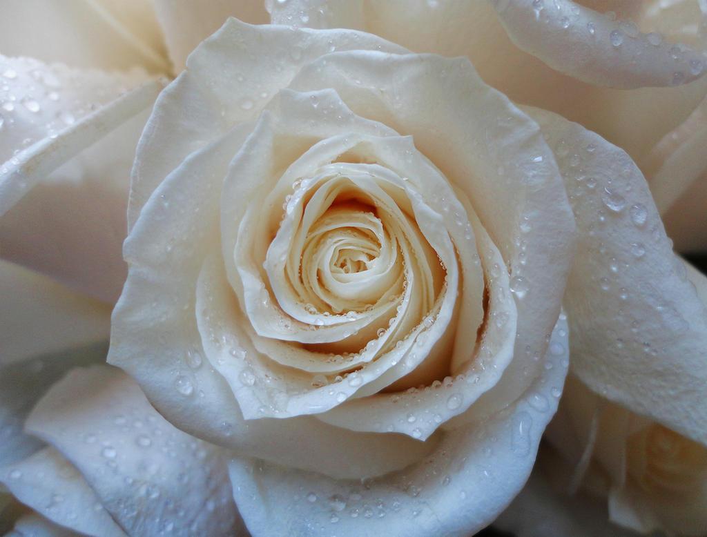 White rose by WhatIdo4fun