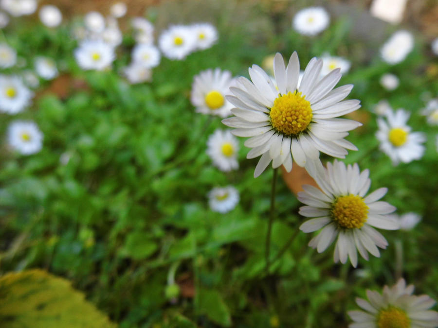 Daisys by Agent-Alaska