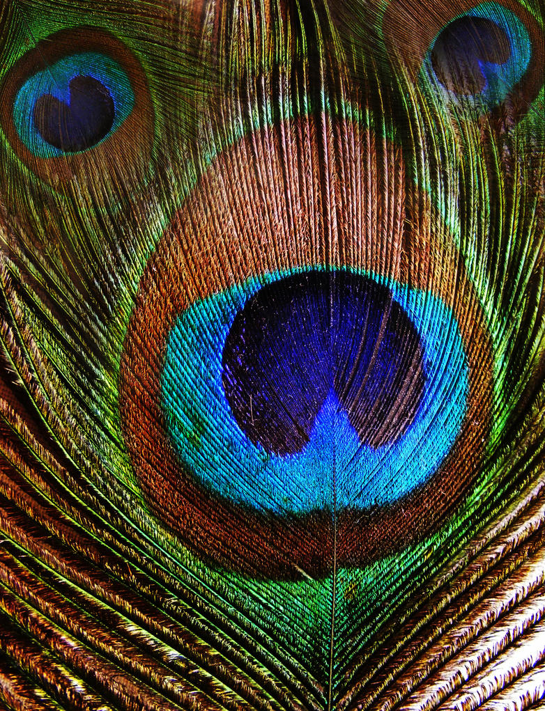 peacock texture by compot-stock