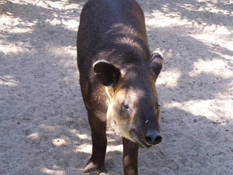 Tapir by TarnishedTears89