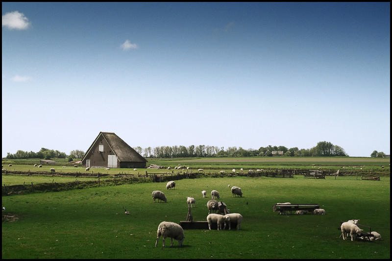 The Texel Sheep by MOSREDNA
