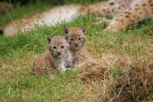 Lynx Cubs by x-Nici-x