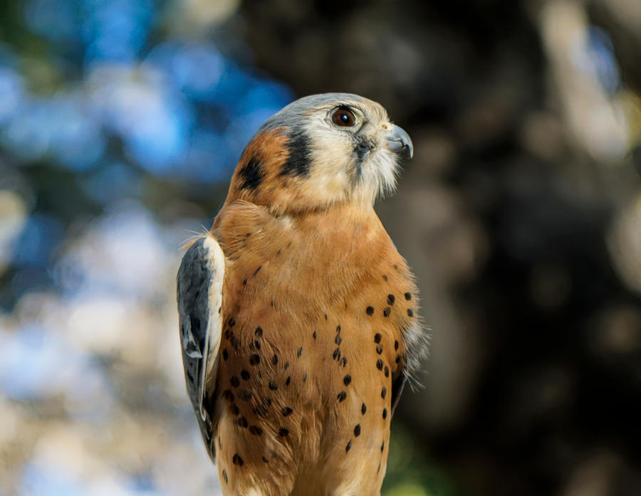 Kestrel by Morgan-McJiggleson