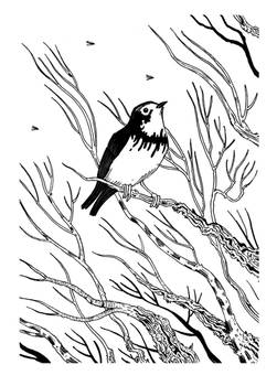 Ink - Canada Warbler