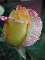 Ephemeral Rose by Kato-Shiroi