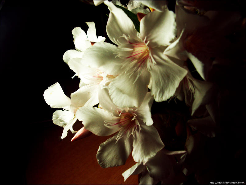 White oleander by ritusik on deviantart white oleander by ritusik mightylinksfo
