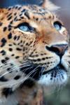 _Leopard_