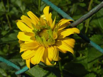 Heliopsis helianthoides I