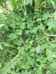 Find a fourleaved clover