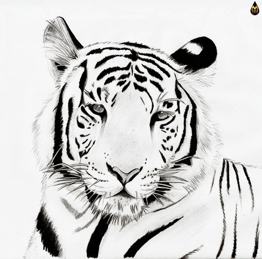 Line Drawing Of A Tiger S Face : White tiger line art