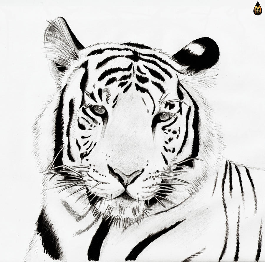 Cool White Tiger DrawingsWhitePrintable Coloring Pages Free Download