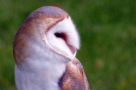 Barn Owl - Birds of prey