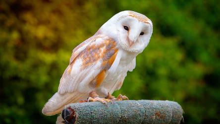 Birds Of Prey - Barn-owl by digimakerpro