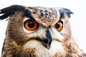 Birds of prey - Predator series