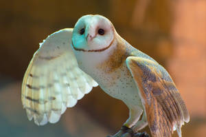 Barn-owl-the birds of prey