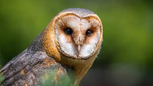 Barn-owl the birds of prey