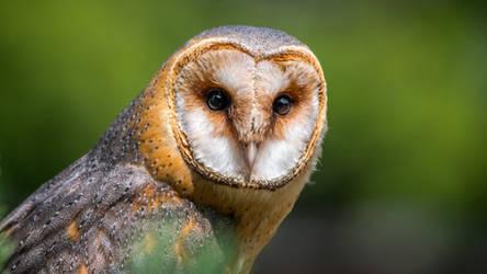 Barn-owl the birds of prey by digimakerpro