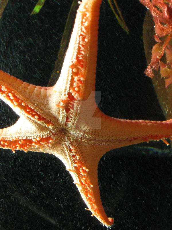 Starfish by symbion-pandora