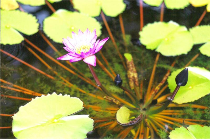 Lotus 1 by symbion-pandora