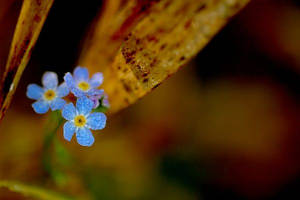 Forget-me-not by amisiux