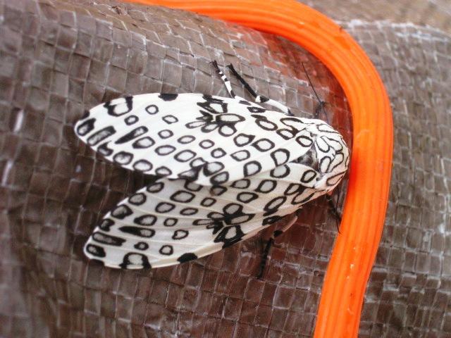 Leopard Moth by DarkstarWolf53