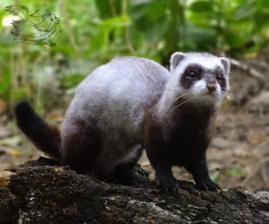 Needle Felted ferret by YuliaLeonovich