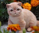 Needle Felted Cat Exotic Shorthair