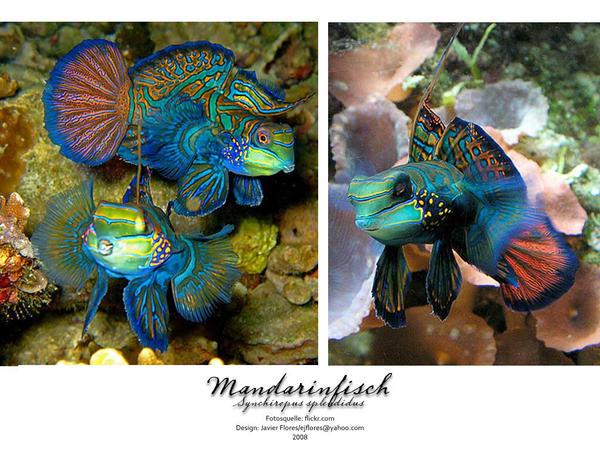 Mandarin Fish by latinbassist