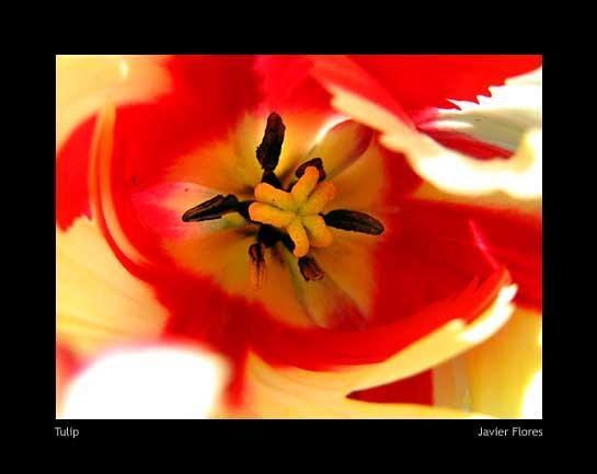 Tulip by latinbassist