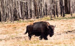 Plains Bison - 4978 by creative1978