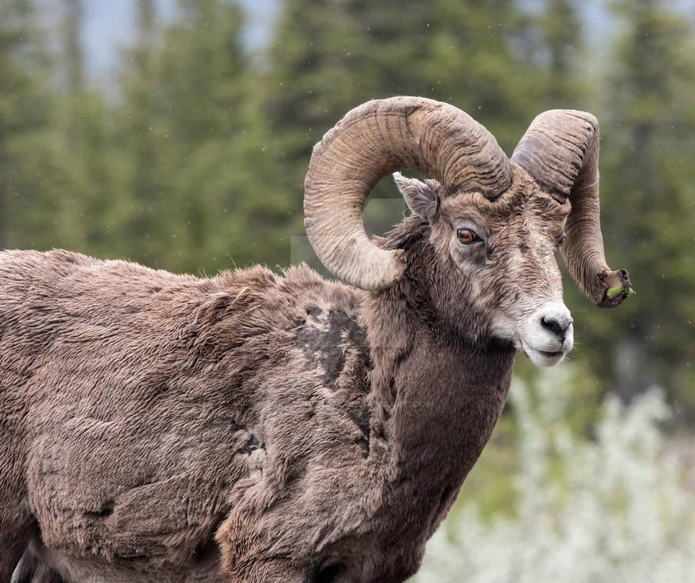 Jasper - Bighorn Sheep - 4999