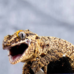 Countess Bathroy - Grumpy Gecko - 8931
