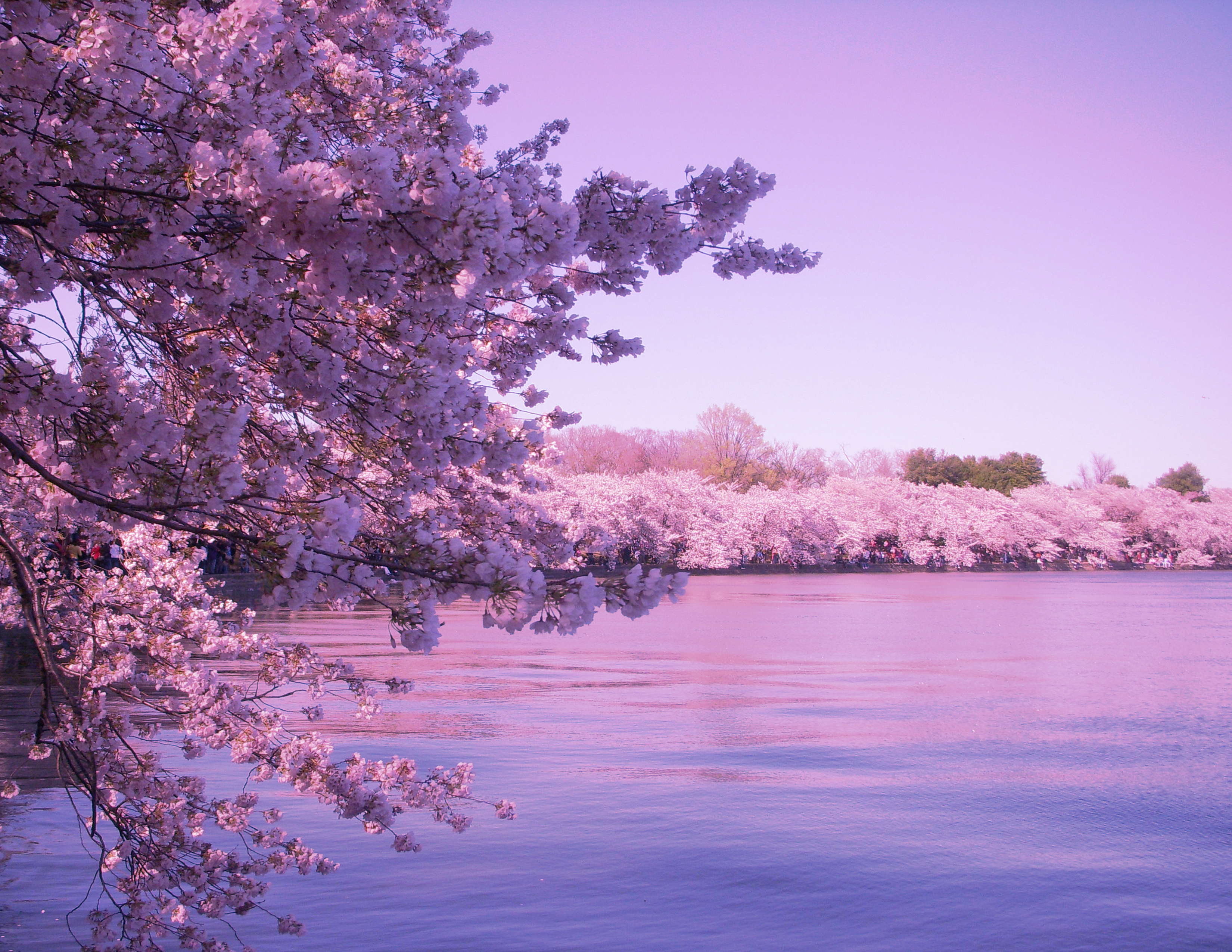 sakura cherry blossoms Latest information on peak bloom forecasts, news, & photos of washington dc's cherry blossoms in 2018 from have camera will travel.