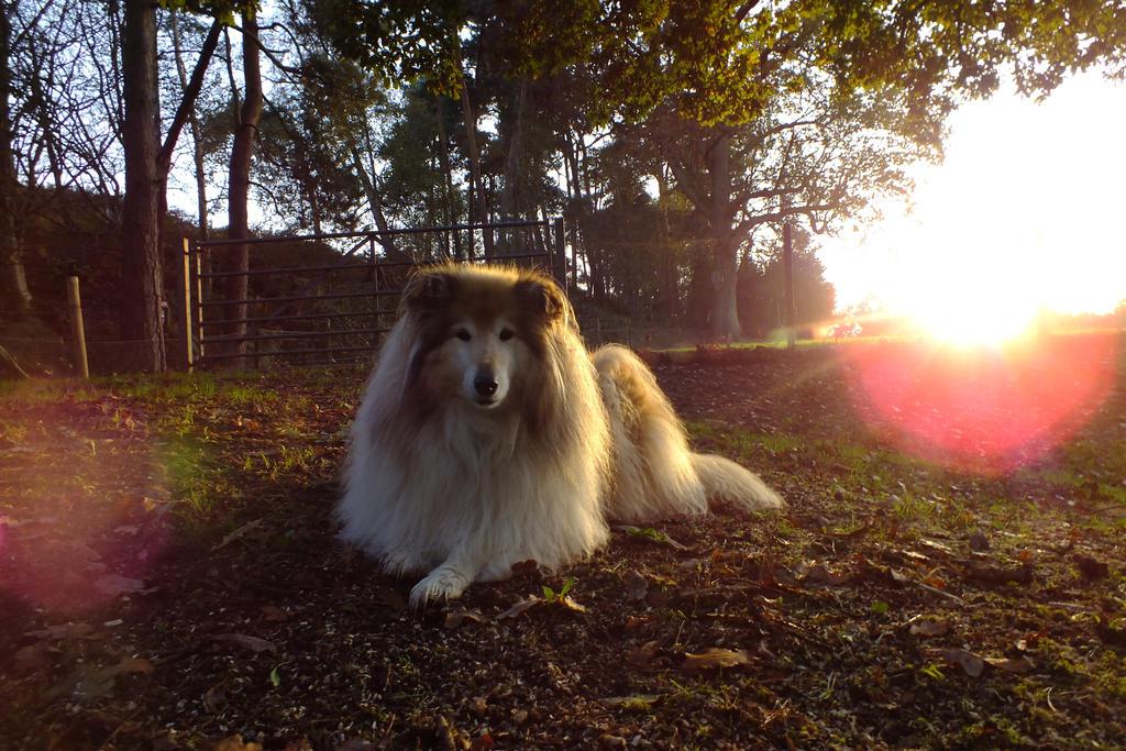 Autumn Rough Collie by 123boocatdog